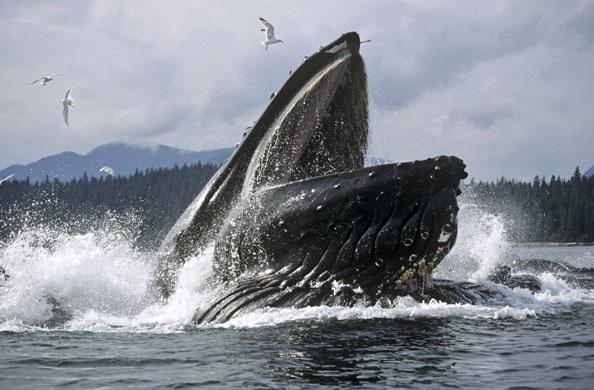 Humpback-Whales-Feeding-I-004
